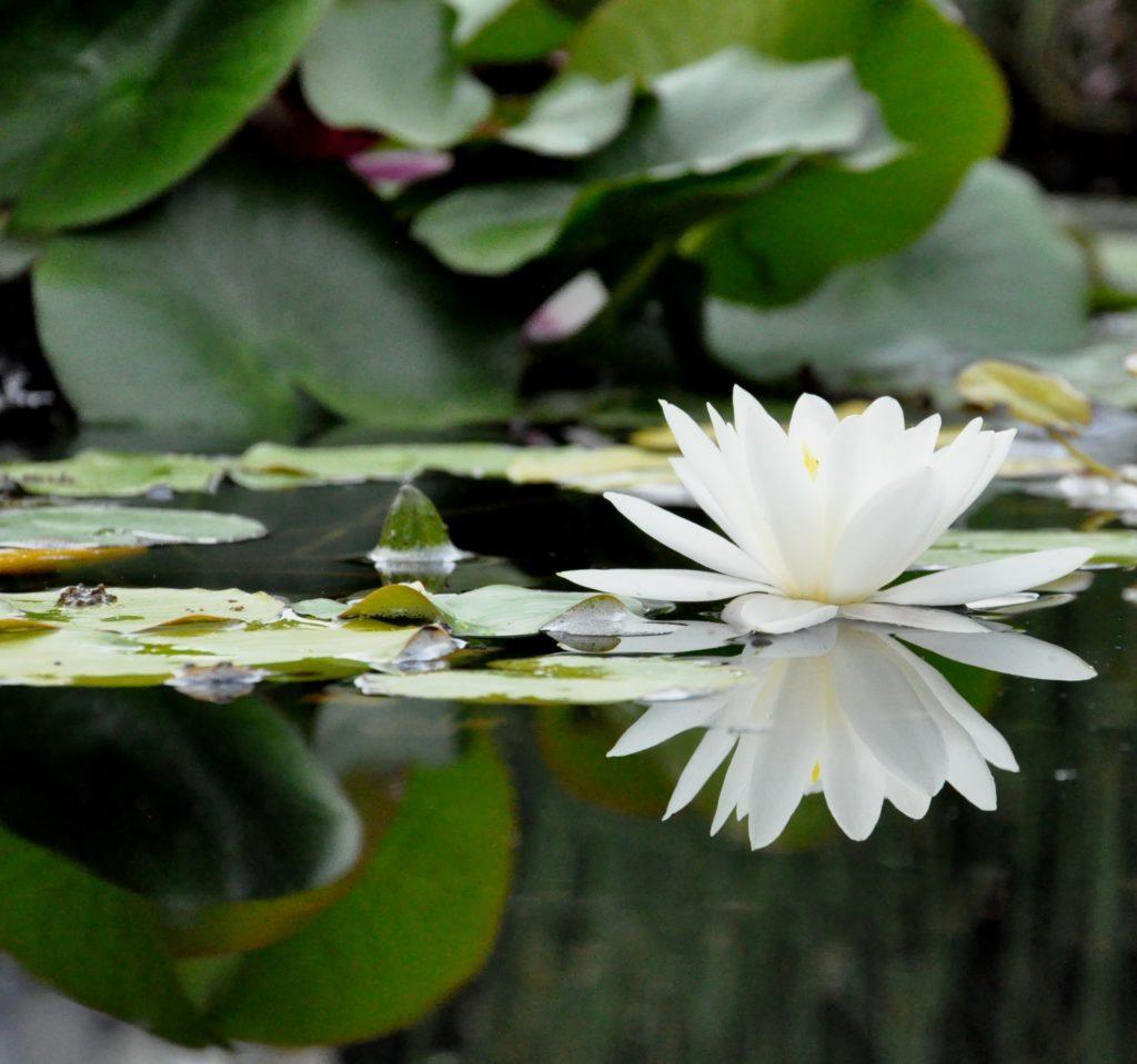 lotus, qui suis-je?